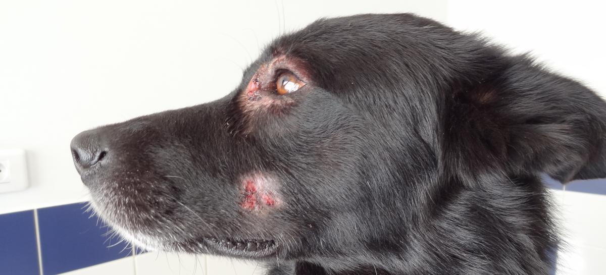 dermatite yeux chien