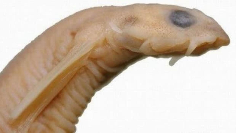 ryba parazit jazyk