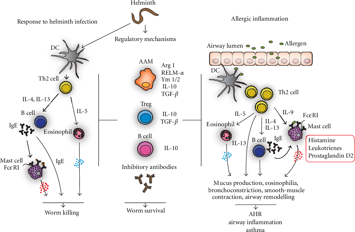 helminth infection inflammation