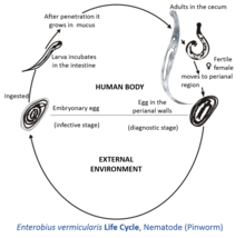 enterobius vermicularis characteristics