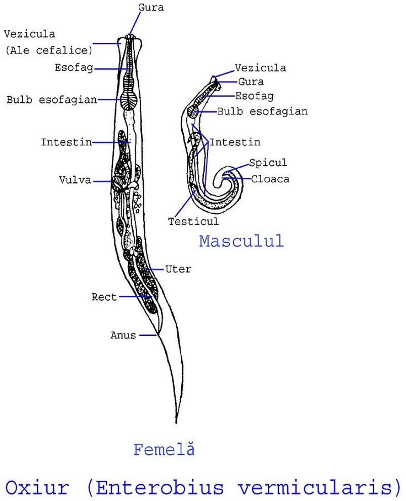 enterobius vermicularis donde se encuentra