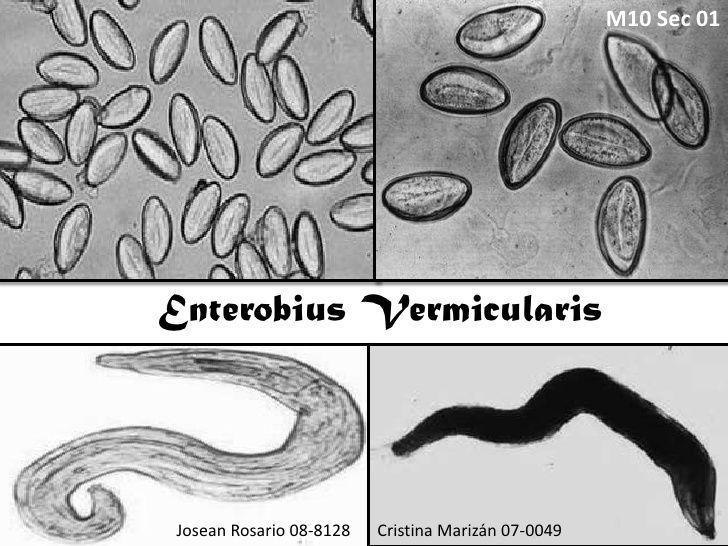 enterobius vermicularis parasitologia