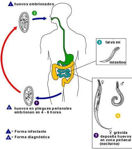 enterobius vermicularis sintomas y prevencion