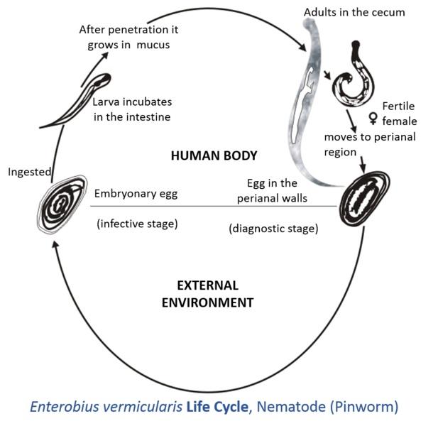 Paraziti intestinali | Digestion | Medical Specialties