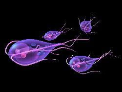 giardia vierme consequence du papillomavirus chez lhomme