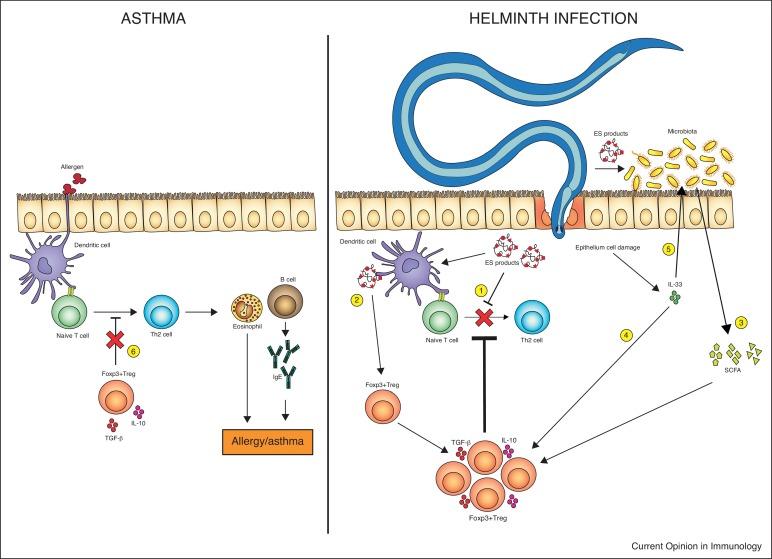 helminth allergy treatment