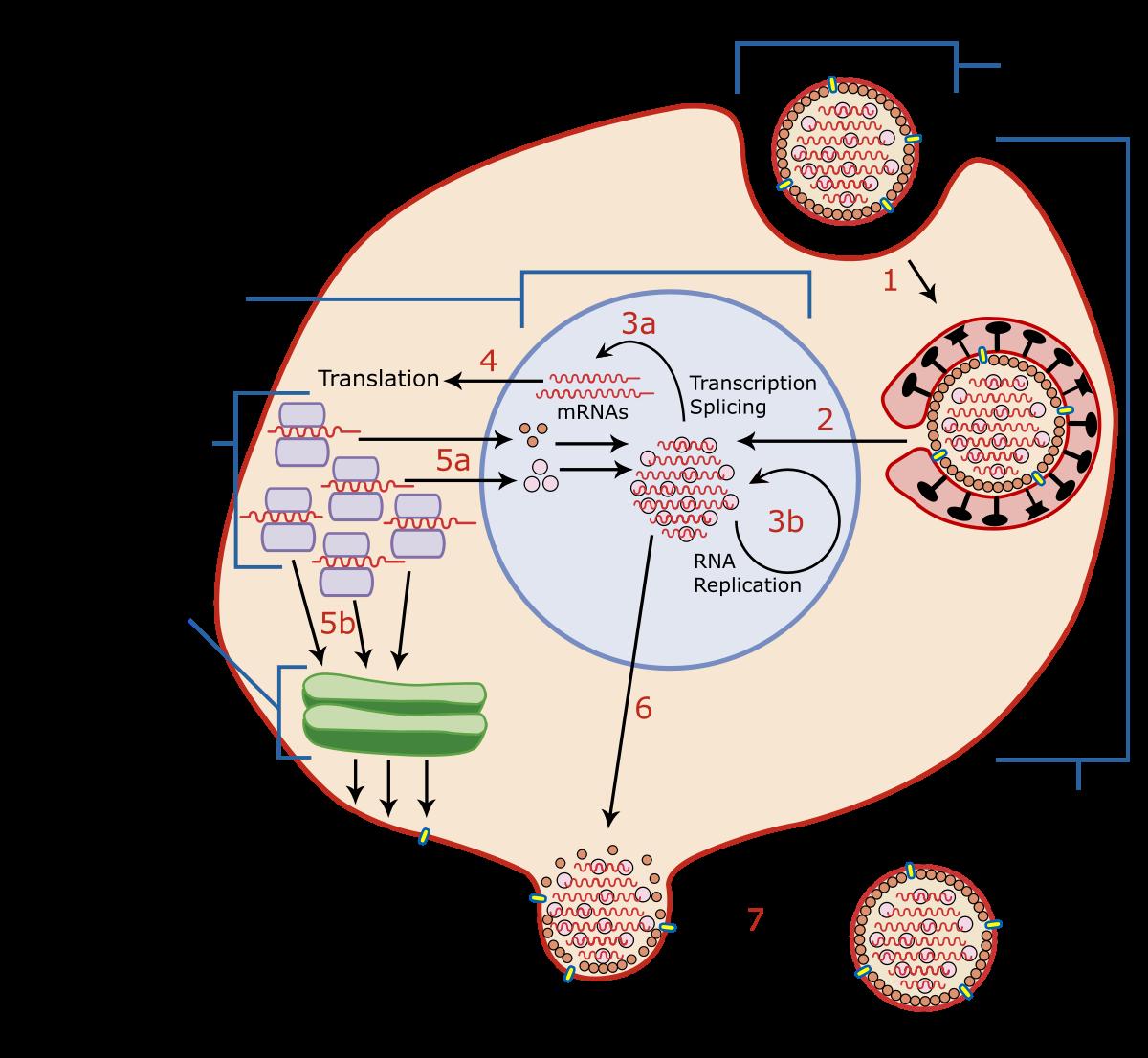 hpv virus dormant years