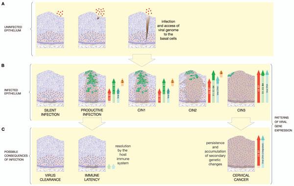 cancer de col uterin genetic