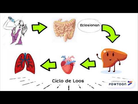 oxiuros ciclo biologico)