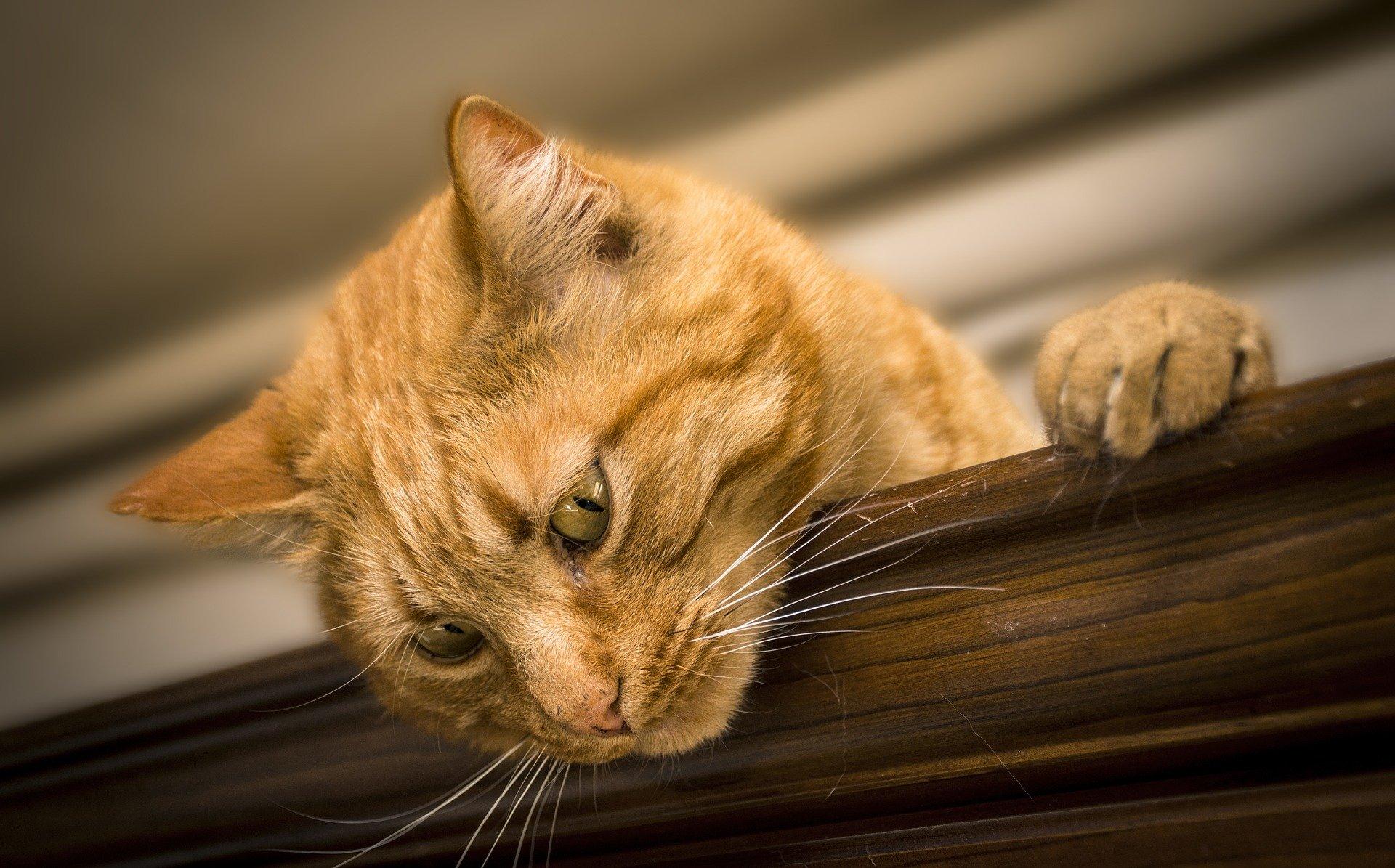 papilloma virus nel gatto)