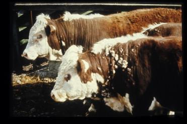 papillomas cows)