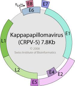 papillomaviridae viralzone)
