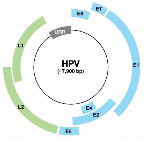 papillomavirus genome
