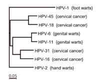 papillomavirus infection types)