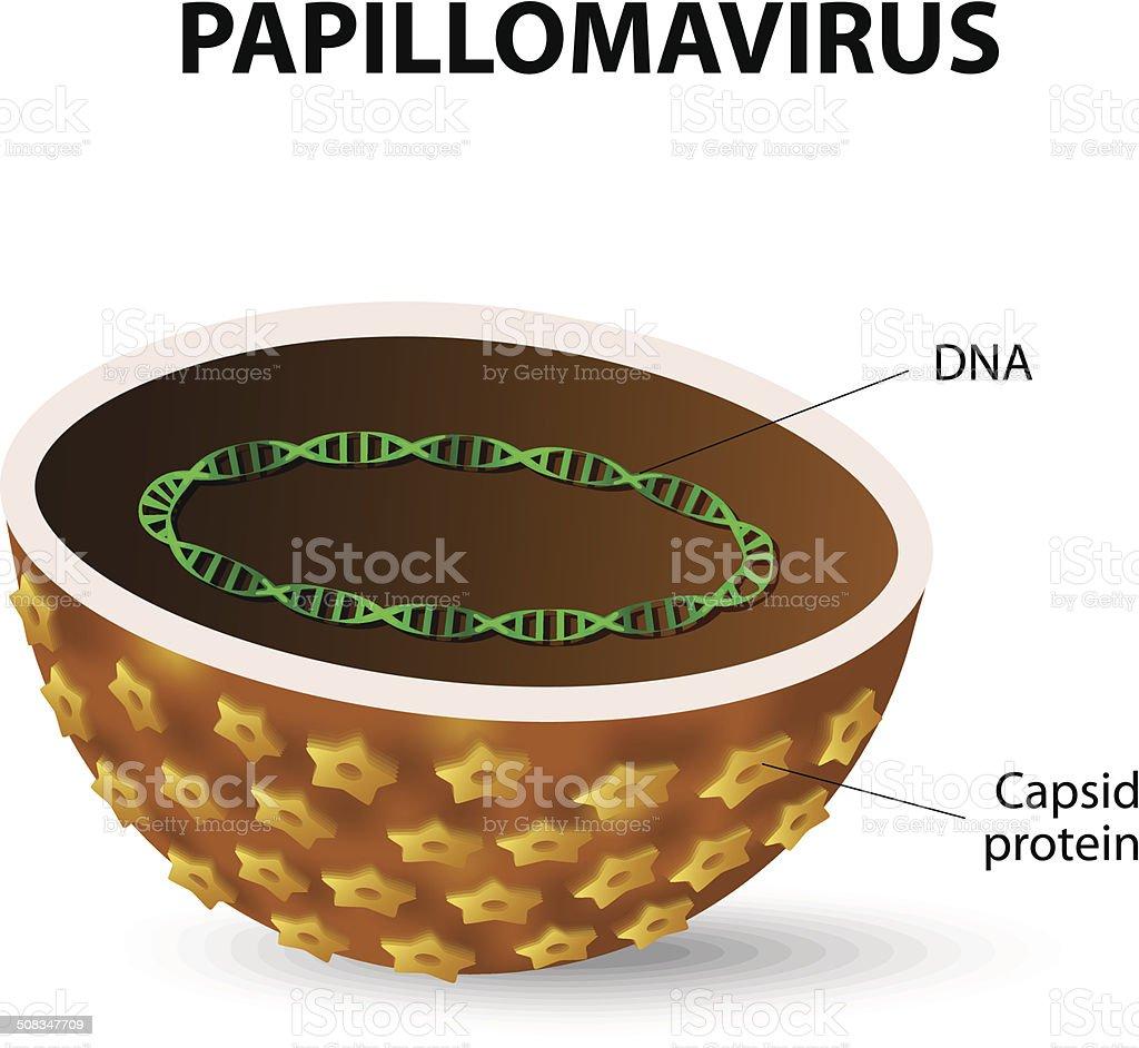 papilomavirusul uman (hpv))