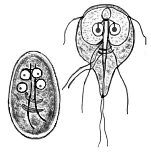 Giardia - Wikipedia