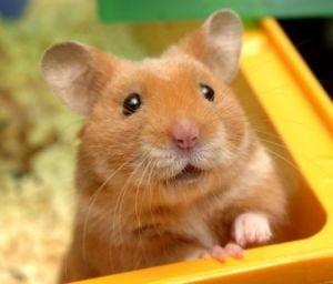 Boli Frecvente La Hamsteri