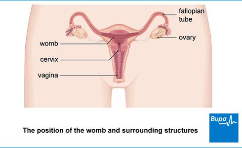 of the uterus - Translation into Romanian - examples English | Reverso Context