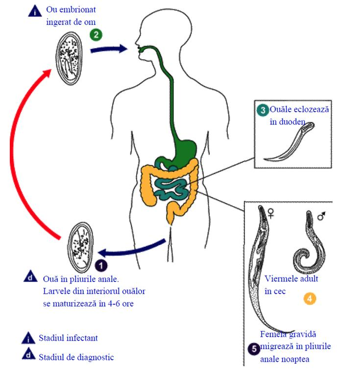oxiuri intestinali)