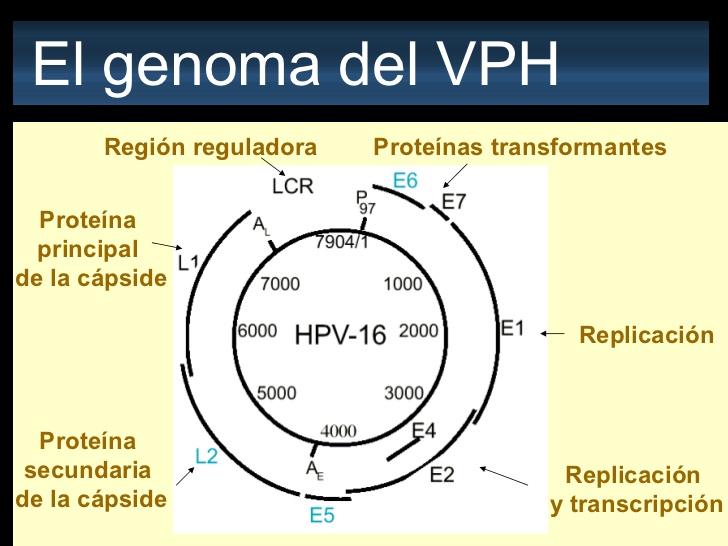 virus papiloma numero 52)