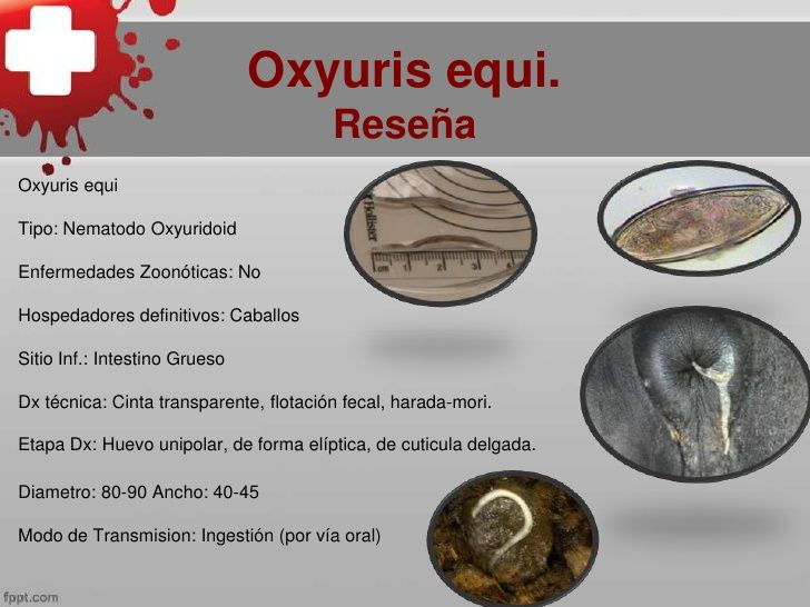 is oxyuris equi