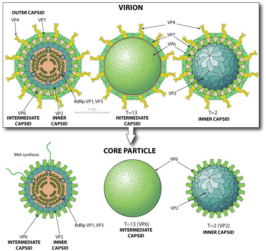 Virusul sincitial respirator și rotavirus | Domestos