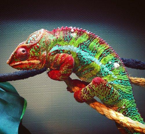 papillomavirus in chameleons