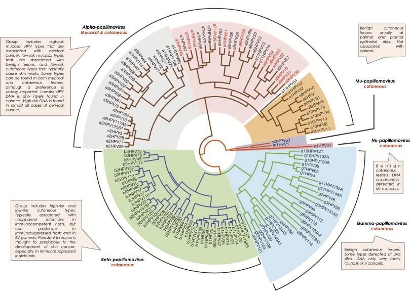 human papillomavirus biology definition