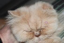 feline papillomas and warts)
