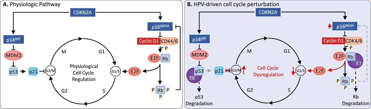 papillomavirus infection mechanism)