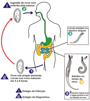 enterobius vermicularis doenca
