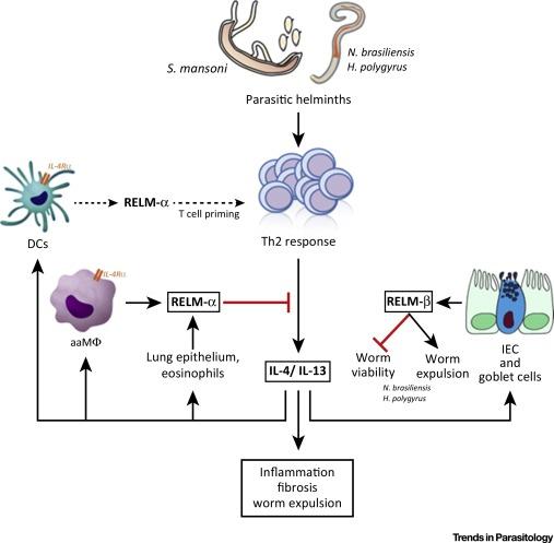 helminth infection eosinophilia)