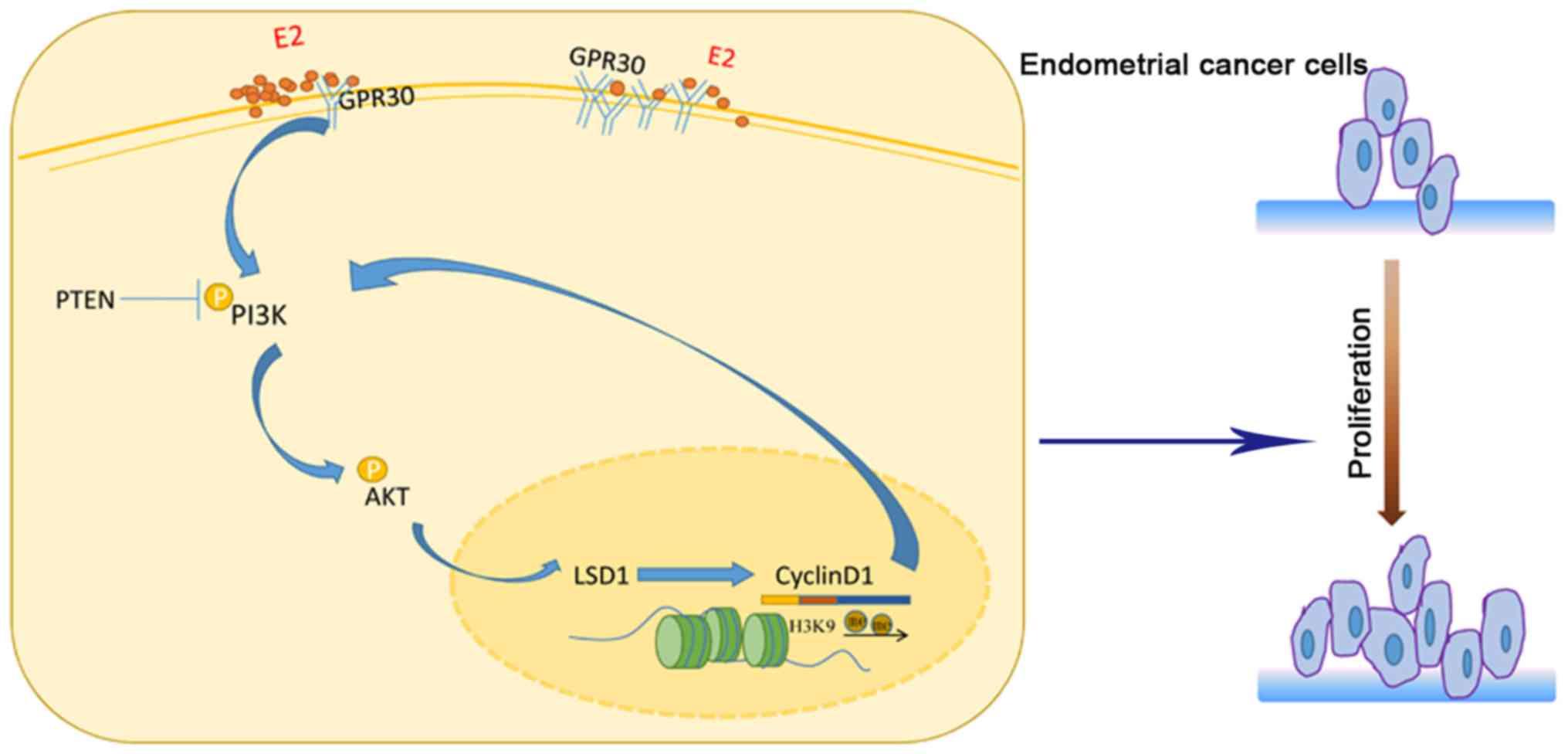 endometrial cancer estrogen)