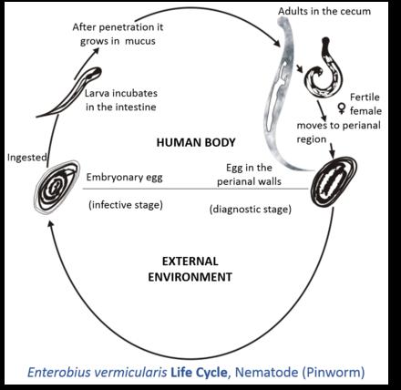 enterobius vermicularis host)