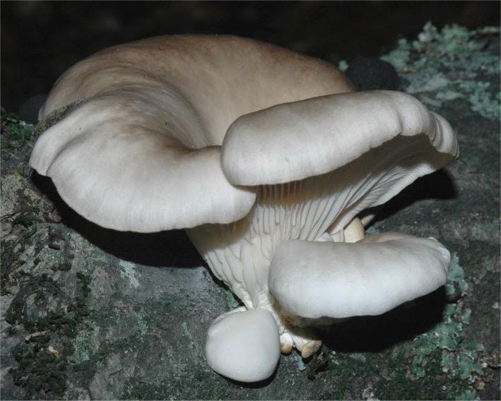 Ciuperci champignon - beneficii, calorii și compoziție nutritivă