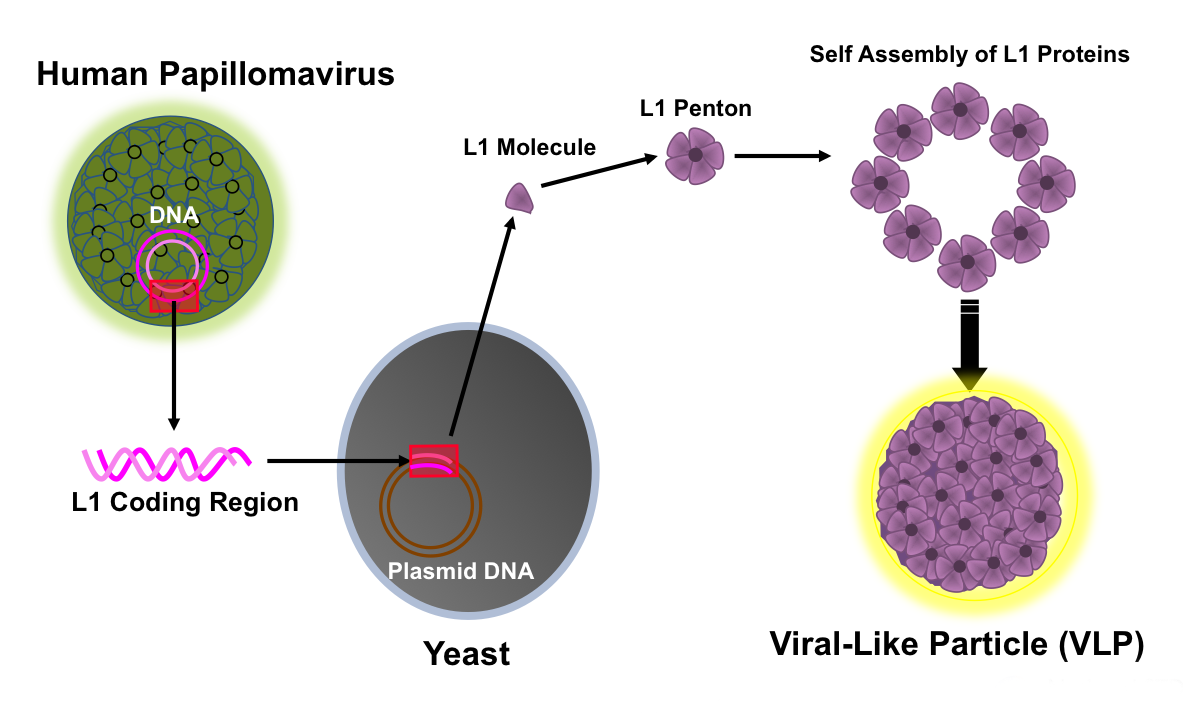 hpv virus diagram