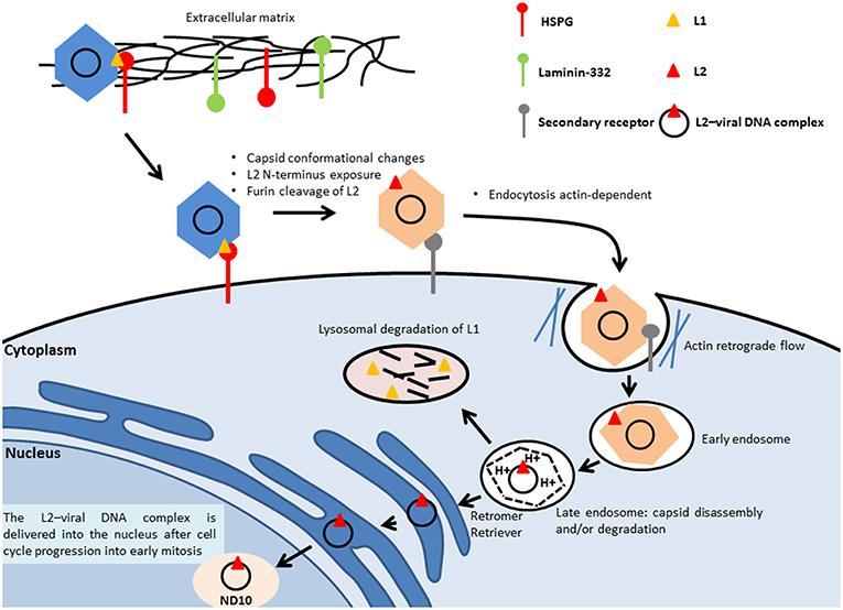 human papillomavirus viral replication)
