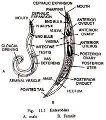 enterobius vermicularis neden olur
