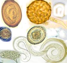 Parazitic de vierme în