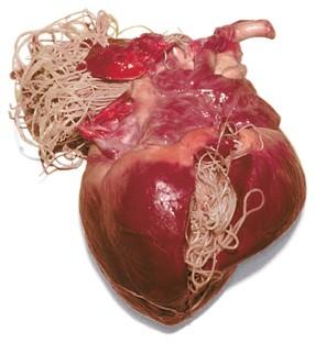 viermi cardiaci la om)