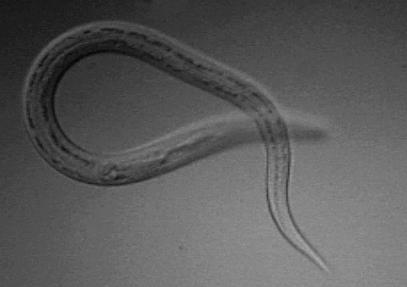 helminth worm treatment)