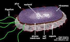 Infectiile bacteriene