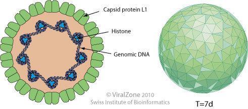 Caracterizați mărimea structurii și structurii virușilor. Harta tehnologică a formării practice