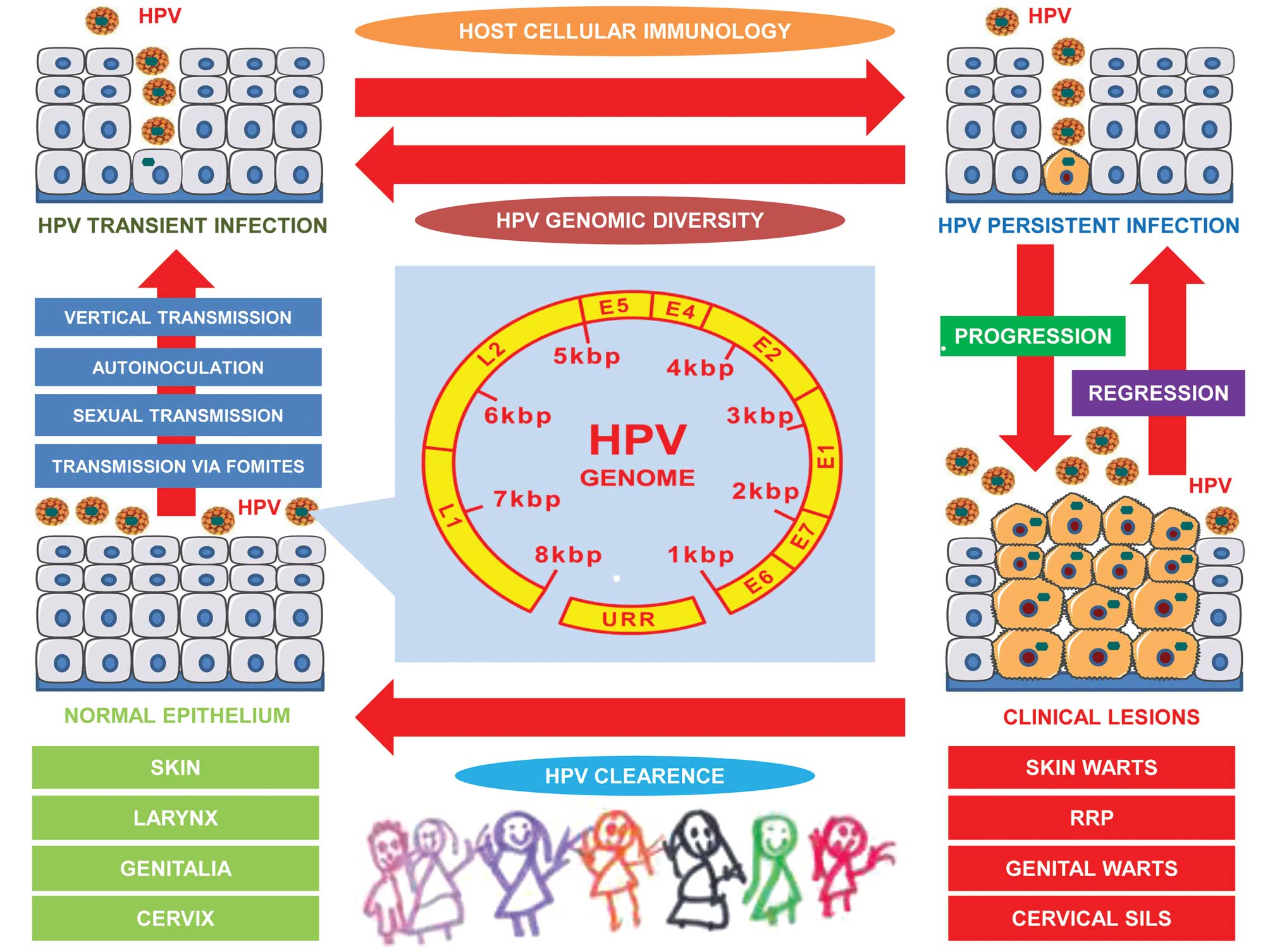 human papillomavirus cervical lesion development