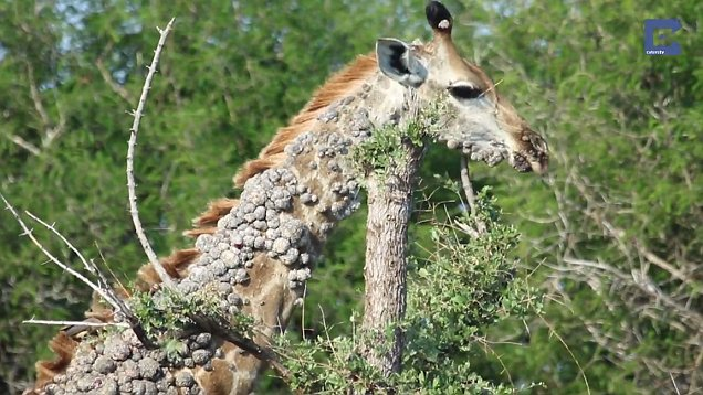 papilloma virus in giraffes)