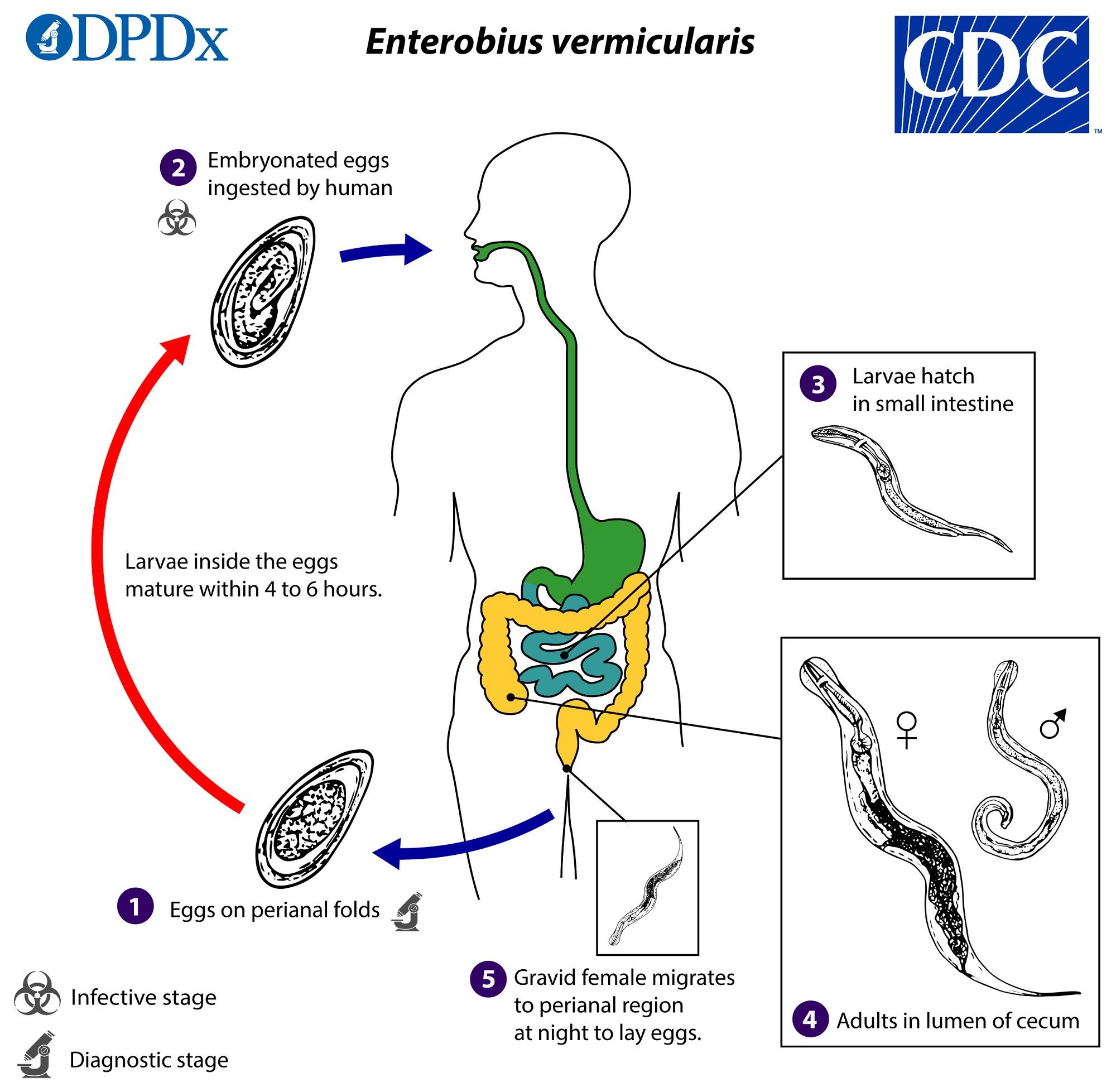 enterobius vermicularis diagram viermițori intestinali