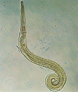 enterobius vermicularis larvae)