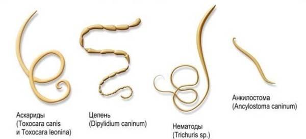 paraziti intestinali catei)