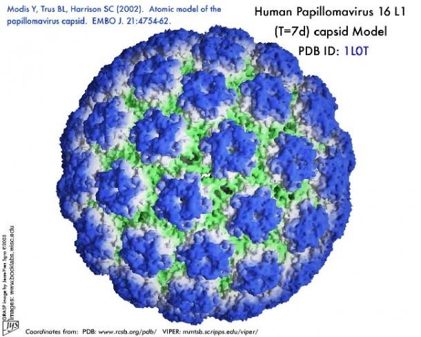 human papilloma viruses associated with