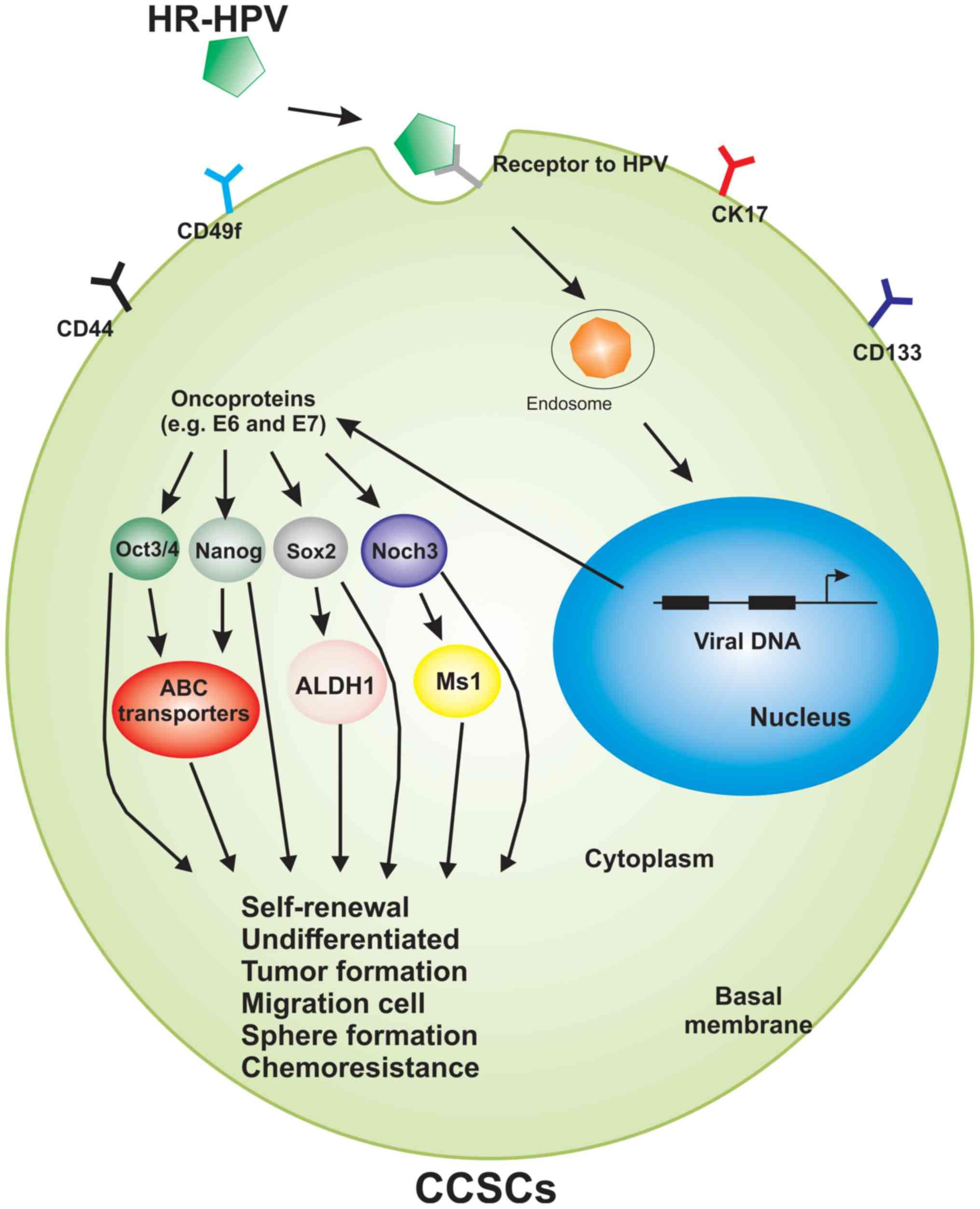 human papillomavirus cancer cells)